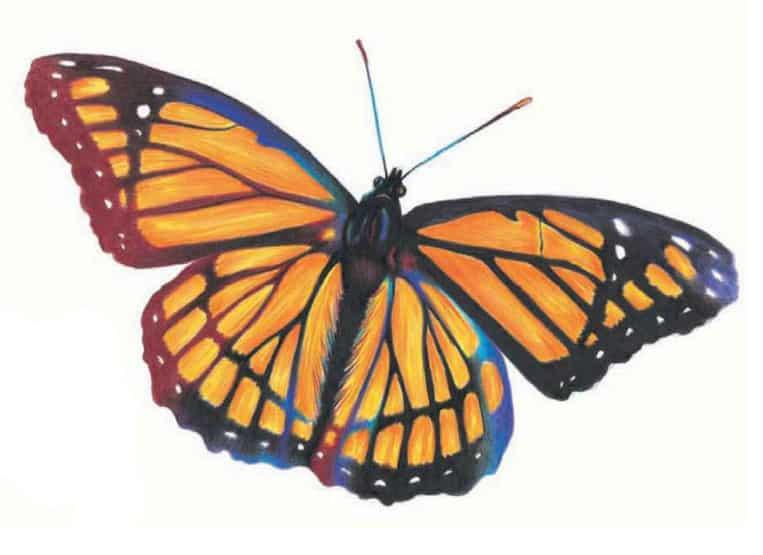 как-нарисовать-бабочку-цветными-карандашами6
