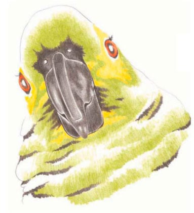 как-нарисовать-попугая-цветными-карандашами-2