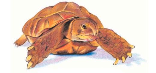 как-нарисовать-черепаху-миниатюра