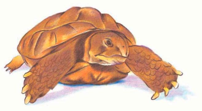 как-нарисовать-черепаху-7