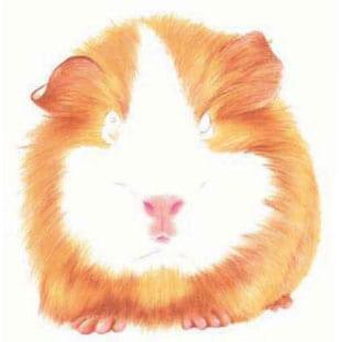 как-нарисовать-морскую-свинку-4