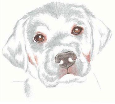 как нарисовать щенка цветными карандашами (5)