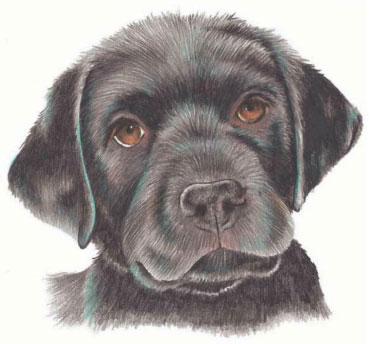 как нарисовать щенка цветными карандашами (7)