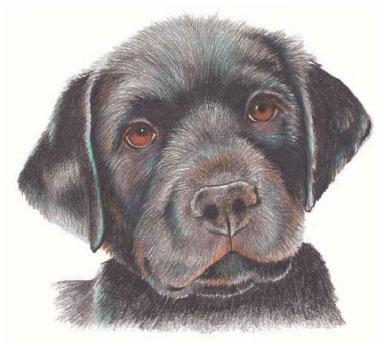 как нарисовать щенка цветными карандашами (8)