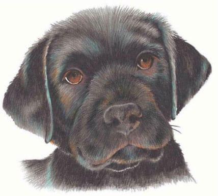 как нарисовать щенка цветными карандашами (9)