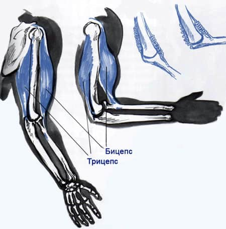 Анатомия и структура человека для художников. Мышцы и кости (3)