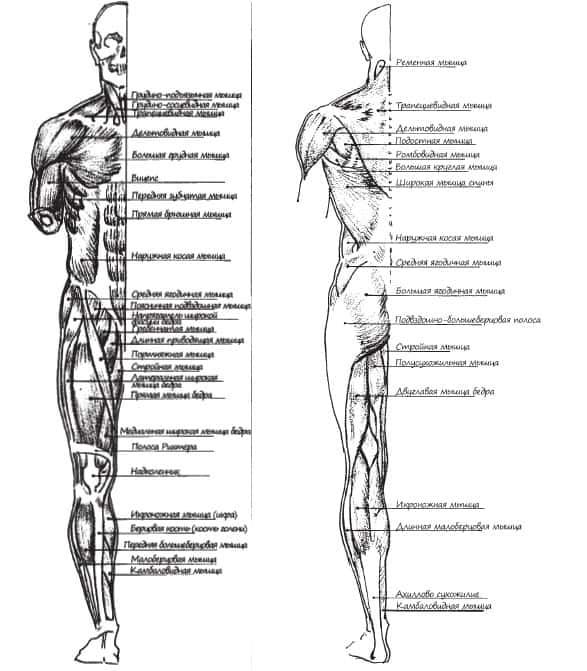 мышцы-на-передней-и-задней-части-фигуры