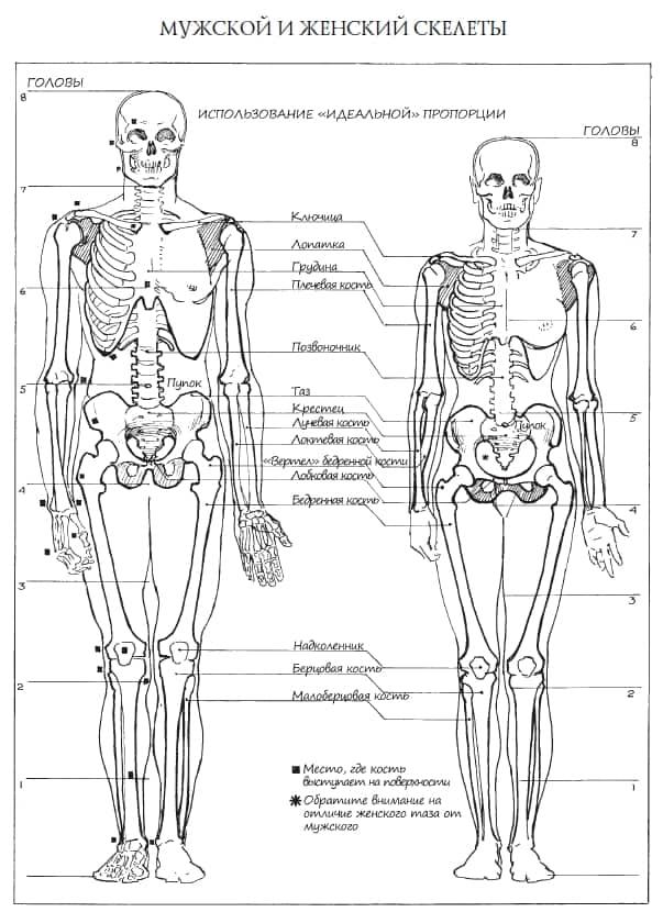 скелет для художников
