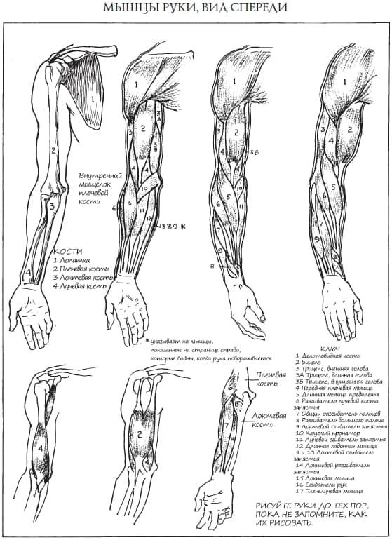 Как рисовать плечевой сустав кости крестцово повздошный сустав
