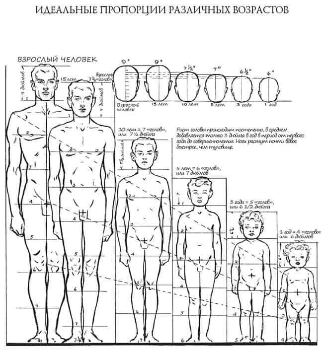 идеальные пропорции различных возрастов