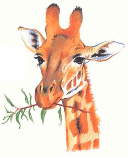 как-нарисовать-жирафа-цветными-карандашами