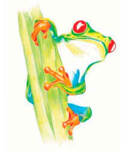 Курс рисования цветными карандашами. Красноглазая древесная лягушка