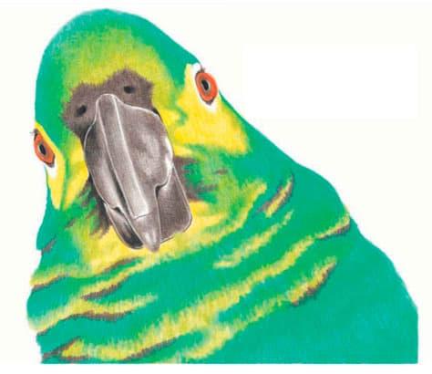 как-нарисовать-попугая-цветными-карандашами