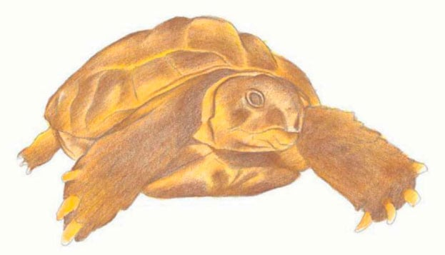 как-нарисовать-черепаху-4