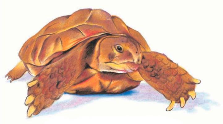 как-нарисовать-черепаху-8