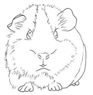 как-нарисовать-морскую-свинку-1