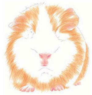 как-нарисовать-морскую-свинку-3
