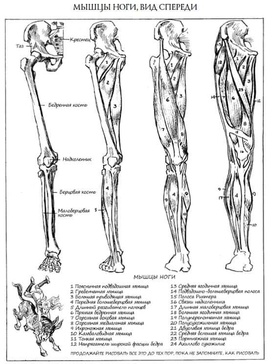 анатомия ног (1)